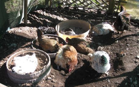 Covered Dust Bathing Area