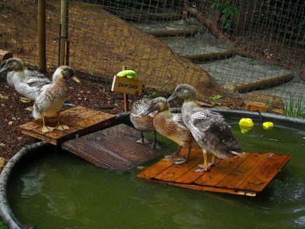 Duck Dock