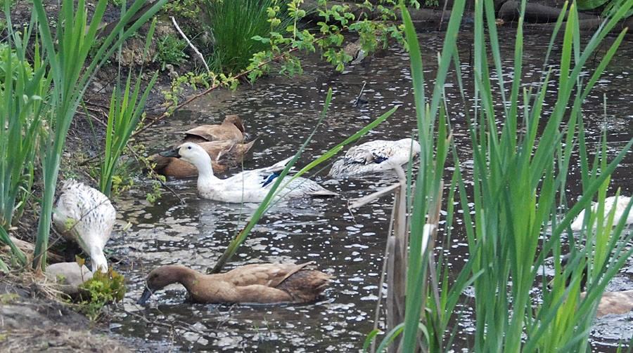 Ducks on Pond