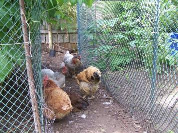 hens in garden
