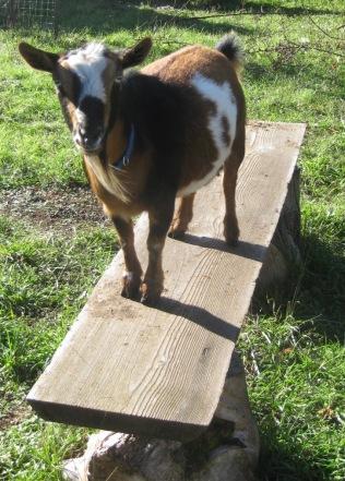 Emma - Nigerian Dwarf Goat