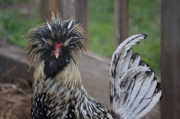 Silver Laced Polish Rooster