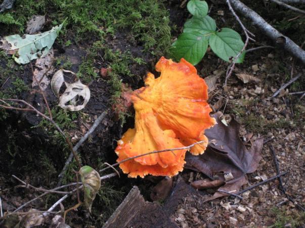 Chicken Of The Woods Mushrooms
