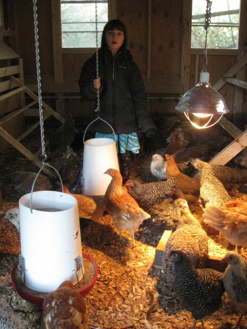 Grow-Outs In The Coop