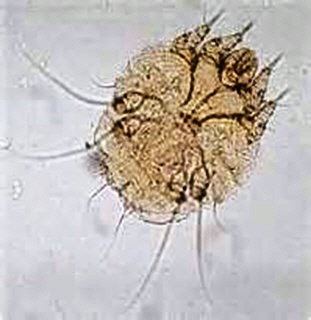 scaly mite 2