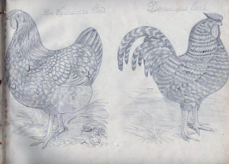 dominque cock and wyandotte hen