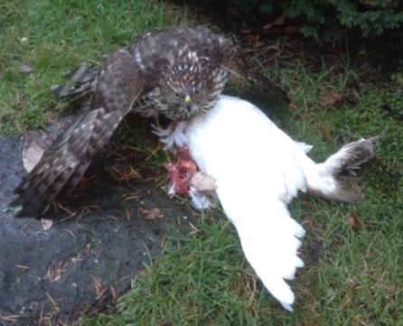 Hawk & Pavlovskaya Hen