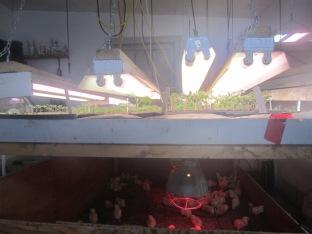 Chick brooder under grow beds