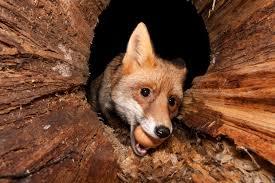 Fox & Egg