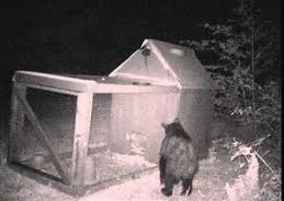 Bear Caught on Game Cam