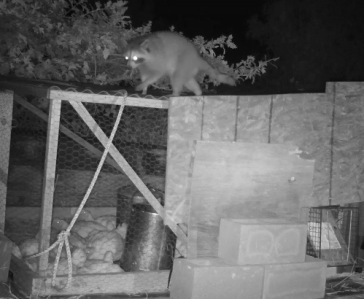 Raccoon Caught on Game Cam
