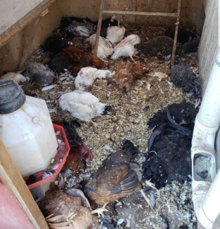 My 10yr old opened the door to this and the mink was in there staring at him. He ran and got me, and it was still in there. I thought my coop was predator proof. It ran up the run, across the top of the run, and squeezed through the vent hole. This was devastating to us. We loved our birds. - Samantha Warden