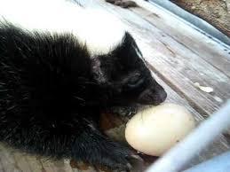 Skunk & Egg