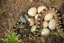Snake Eating Eggs