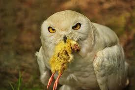 Snowy Owl & Chick