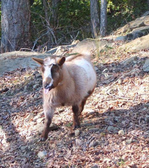 Nya, Nigerian Dwarf Goat
