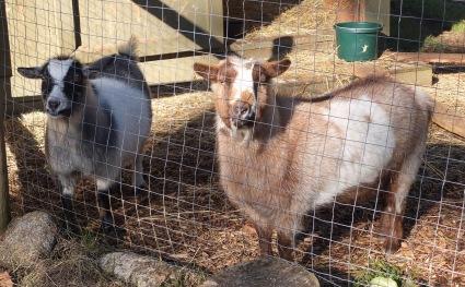 Osa & Nya, Nigerian Dwarf Goats