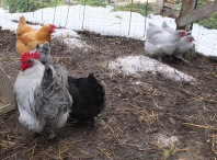 Carol's Orpington Flock