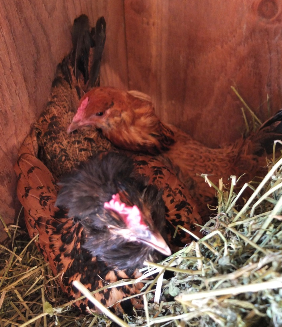 Hens Vying For The Best Nest