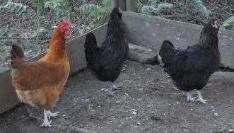 Nadine & Derek's Hens