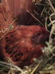 Pixie in the Alfalfa Nest