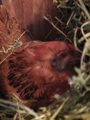 Pixie in the Alfalfa Nest