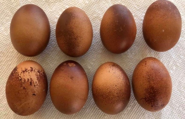Unevenly Pigmented Eggs (Credit: Kimberly Brown)