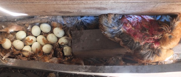 Pixie's Body & Eggs Inside Shed