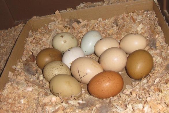 Hatching Eggs In Cardboard Tray