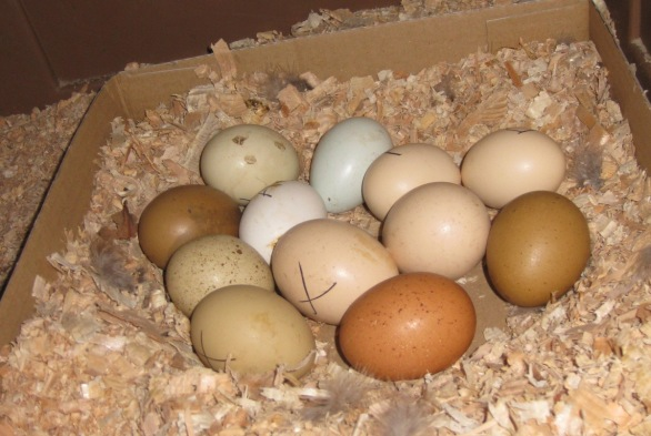 Hatching Eggs In Cardboard Tray