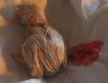Bleeding Umbilicus