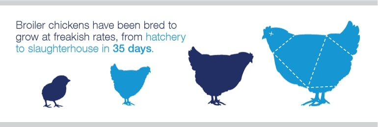 Broiler Chicken Growth Poster