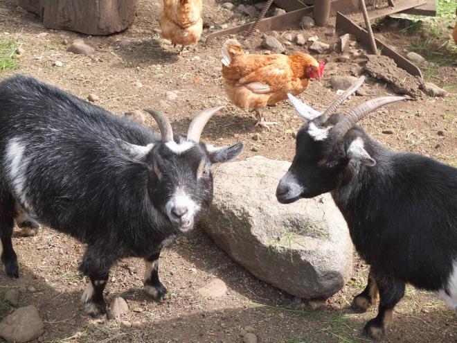 Cynthia's Dwarf Goats