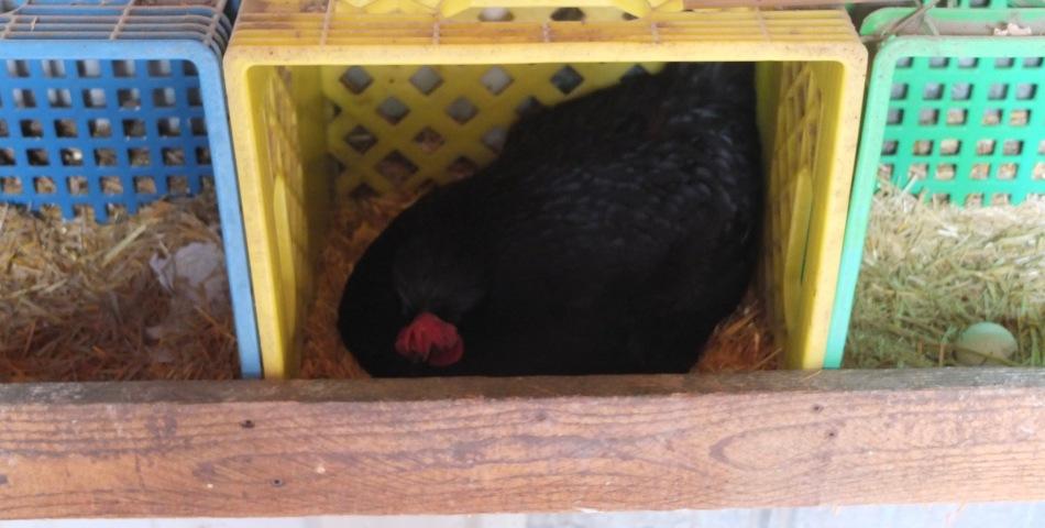 Icelandic Broody Hen