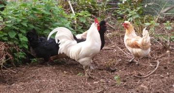 Icelandic Flock