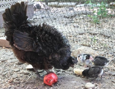 Nox & Three Chicks