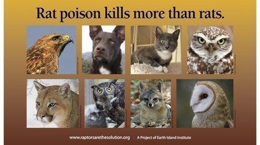 Rat Poison Kills More Than Rats
