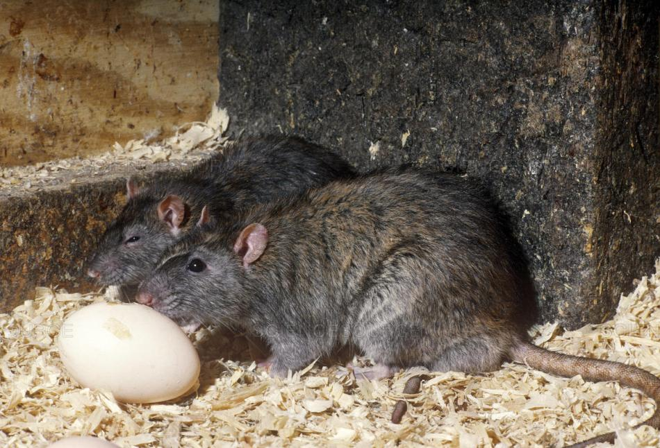 Rats Eating Egg