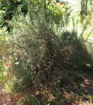 My Giant Rosemary