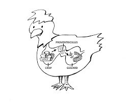 Digestive System (Credit: My Pet Chicken)