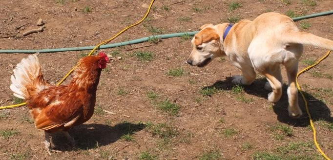 Maureen's Dog & Hen2
