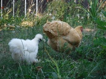 Silkie & Buff Orpington Hens