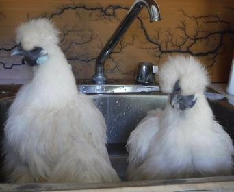 Silkies Having A Bath