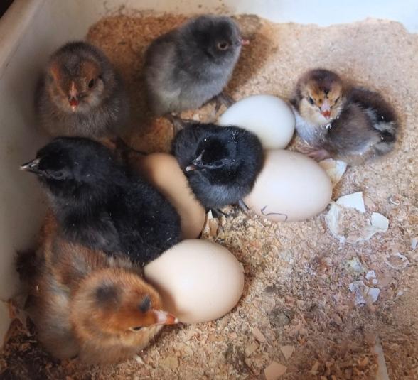 Ella's Chicks