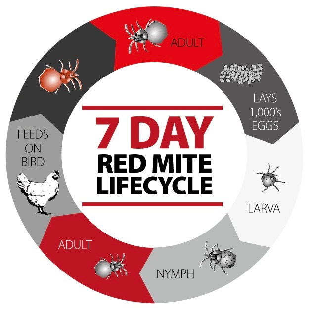 Life Cycle Of The Red Mite