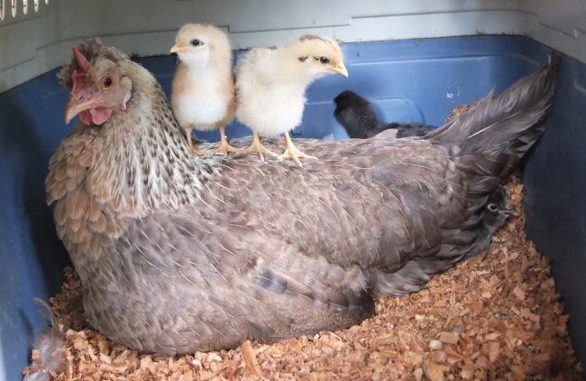 Shona & Chicks