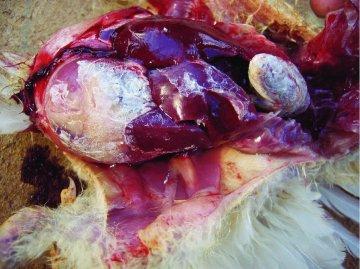 Visceral Gout