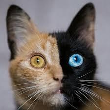 Chimera Cat