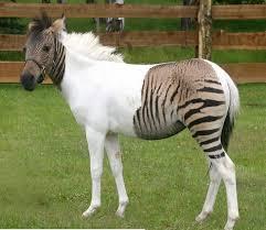 Chimera Horse/Zebra