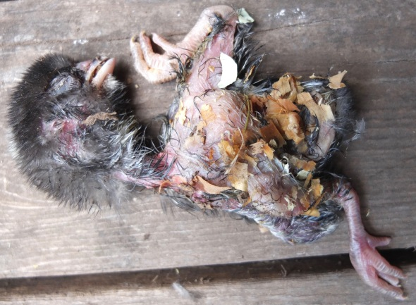 Deformed Head (Chick Killed By Hen At Hatch)